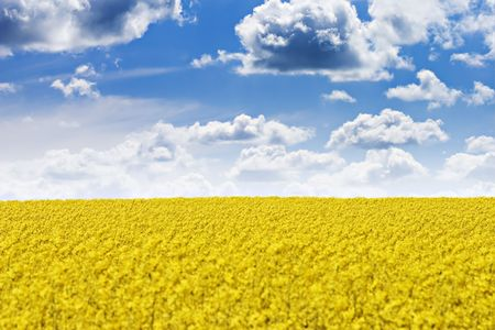 Rape field and blue sky with fluffy clouds
