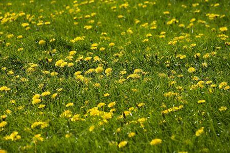 Meadow with dandelion flowers