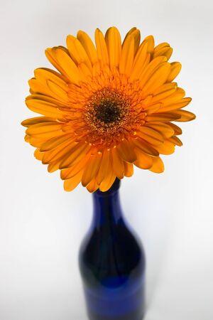 Orange gerbera flowerin blue vase