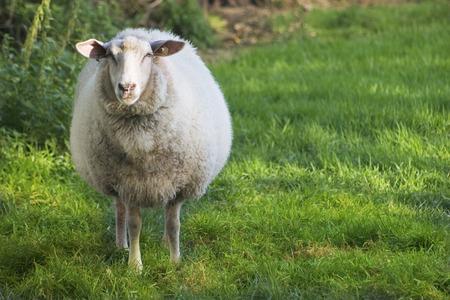 Sheep on meadow Stock Photo