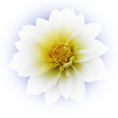 Isolated dahlia flower on blurred blue background