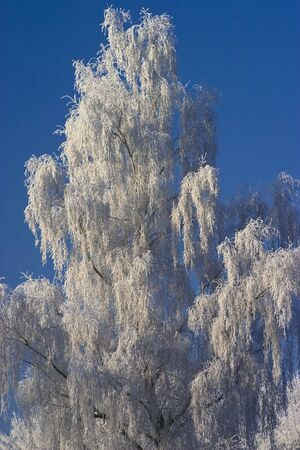 Tree covered with frost and snow against blue sky