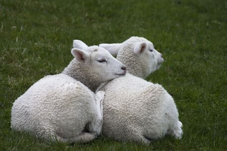 Two lambs sitting together on a fresh meadow photo