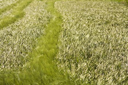 Field of barley plants in early summer