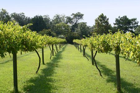 Muscadine Grape Vineyard Stock Photo - 277817