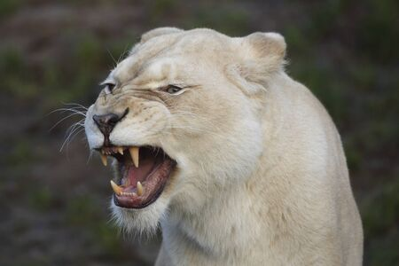Portrait of an angry white lioness roaring