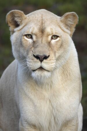 Portrait of a white lioness looking at photographer 版權商用圖片