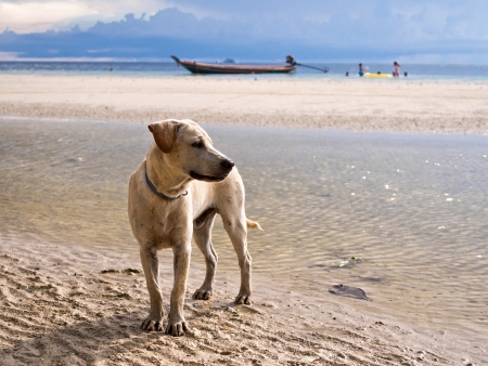 Beautiful dog on the sand at a tropical beach  photo