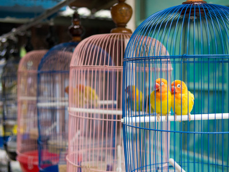Yellow parakeets in colorful cages for sale at bird market in Yogyakarta, Indonesia Stock Photo