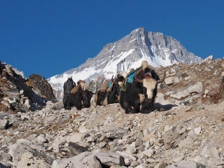エベレスト ベース キャンプ トレッキング トレイルのヤク
