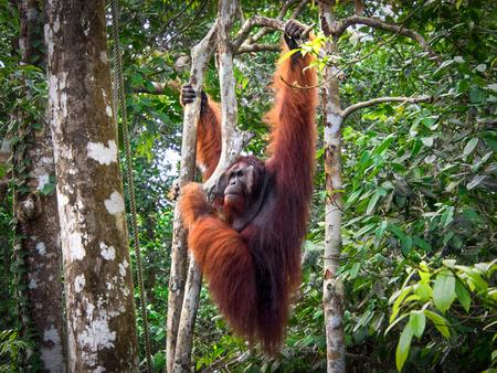 セメンゴ自然保護区、マレーシアでアルファ男性ボルネオ オランウータン