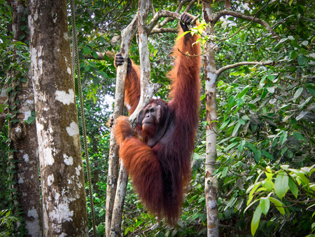 Alpha Male Borneo Orang Utan at the Semenggoh Nature Reserve, Malaysia Stock Photo