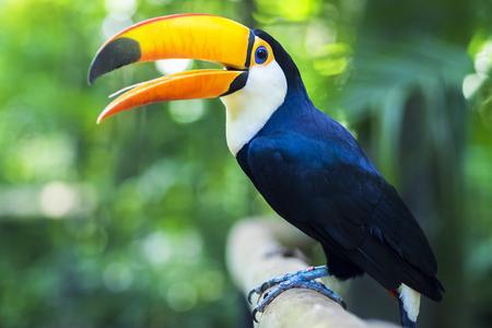 Toekan Exotische Vogel in de natuurlijke omgeving In de buurt van Iguazu Falls, Foz do Iguaçu, Brazilië Stockfoto