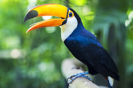 natural habitat: Toucan Exotic Bird in Natural Setting Near Iguazu Falls, Foz do Igua�u, Brazil