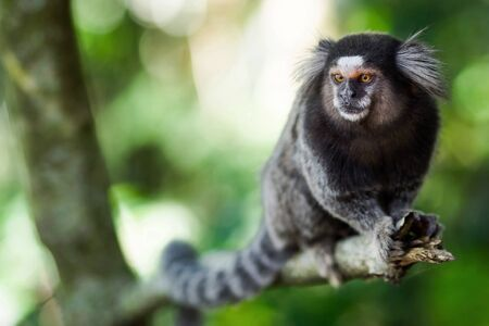 The tiny sagui monkey in the wild in Rio de Janeiro, Brazil. The black-tufted marmoset (callithrix penicillata) lives primarily in the Neo-tropical gallery forests of the Brazilian Central Plateau. Banco de Imagens