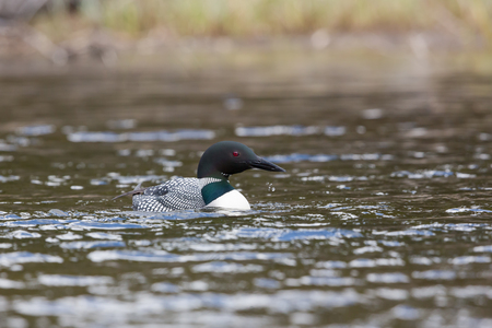 Common loon on wavey lake with water drops Stock Photo