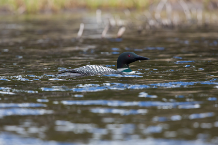 A loon hunting in the creek shallows