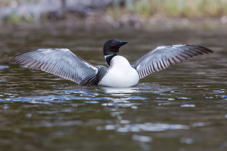 The Common loon, a wilderness icon. Banco de Imagens