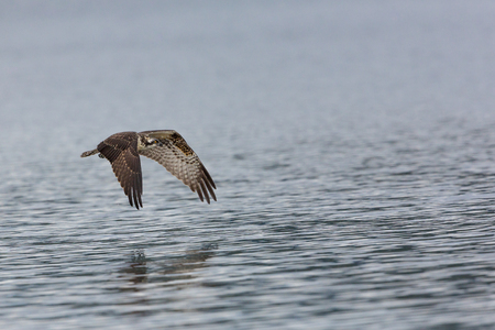 Young Ospery in flight over water wings down