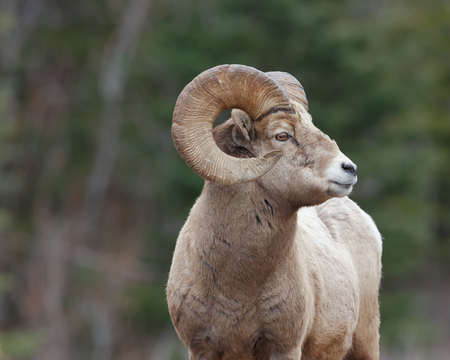 Mature mountain sheep ram from side with forrest background