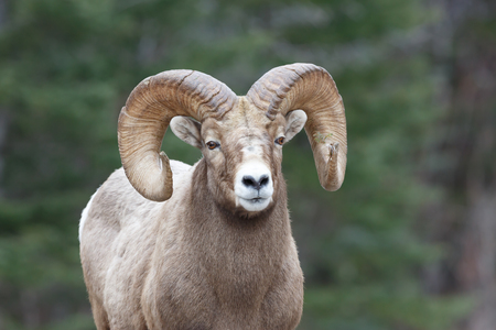 Mountain sheep with pine branch stuck in one horn and forrest background