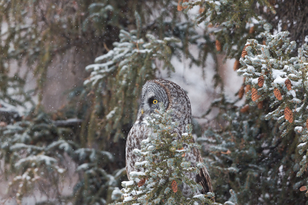 Grey Owl in pine close up with snow falling