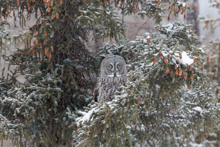 A cold evening with snow finds this Great Grey Owl hunting, hidden in the branches of an evergreen tree.