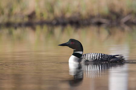 Common Loon with water ripples and forest background Imagens