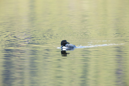 Common Loon with colourful water ripples at sunset
