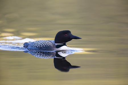 A Curious Loon at sunset. Stock Photo