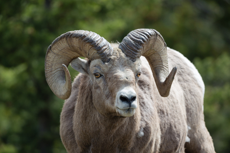 Old Rocky Mountain Sheep ram frontal closeup, with green forest background