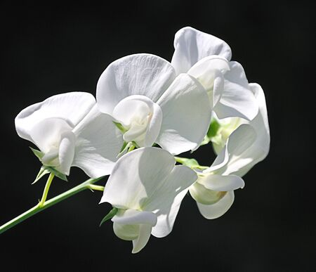 Witte perennial peavine en een zwarte achtergrond - brede lathyrus Stockfoto