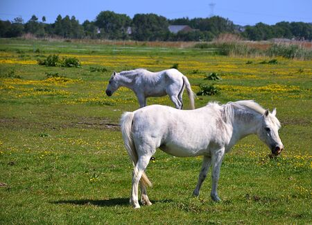 Two white horses in a sunny meadow photo