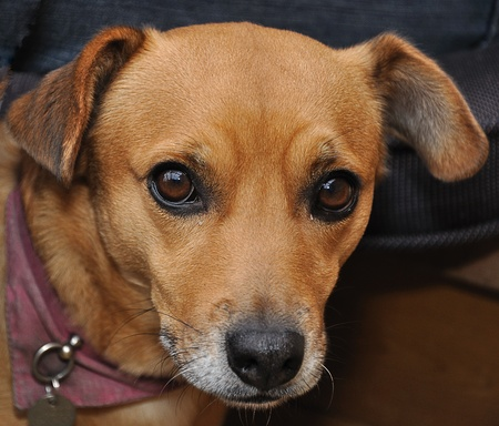 Portrait of a brown female dog (race:   photo