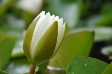 Close-up of White lotus bud in a pond (Nymphaea alba) photo