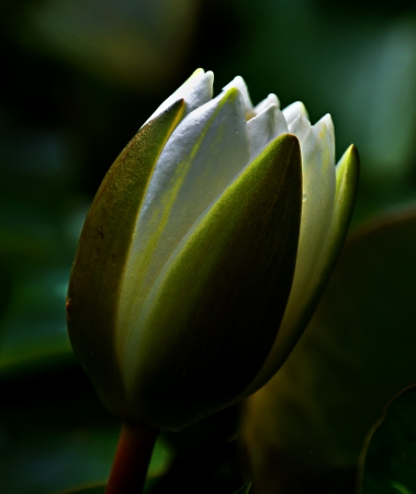 Close-up of a White lotus bud (Nymphaea alba) Stock Photo