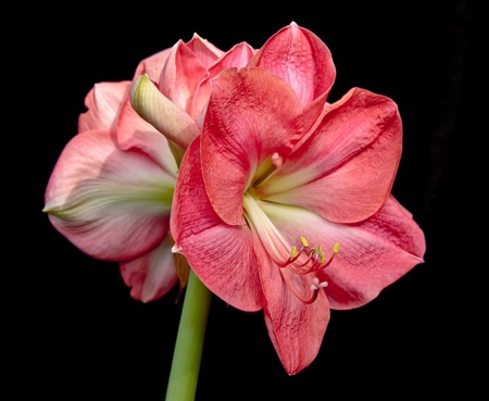 This is a close-up of salmon-colored amaryllis (Hippeastrum) flowers on a green stem. The background is black. The pistil and stamens are highly visible.
