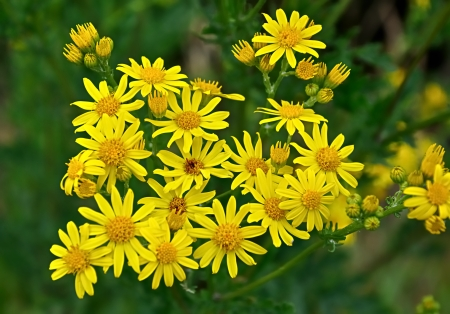 senecio: Narrow-leaved Ragwort - Senecio inaequidens
