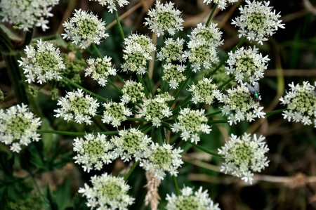 Close-up of Caraway plant (Carum carvi)
