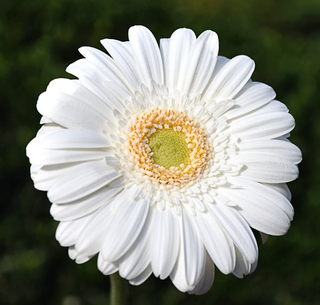 Close-up of a white gerbera flower photo