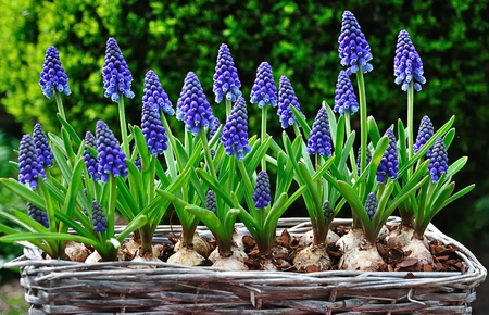 Blooming grape hyacinths in a basket