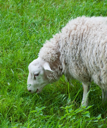 Close-uo of a grass eating sheep Stock Photo - 9437825