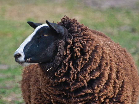 Portrait of a black sheep Stock Photo - 9502499
