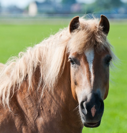 Portrait of a light brown horse with a white blaze