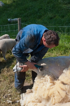 shearer: Lage Zwaluwe, North-Brabant, Netherlands, May 22, 2011,  A farmer is shearing one of his sheep Editorial