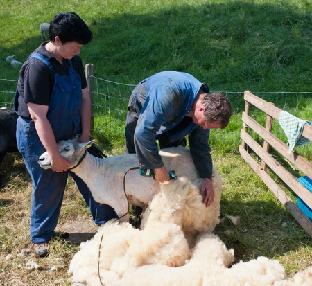 Lage Zwaluwe, North-Brabant, Netherlands, May 22, 2011,  A farmer is shearing one of his sheep and his wife assists him
