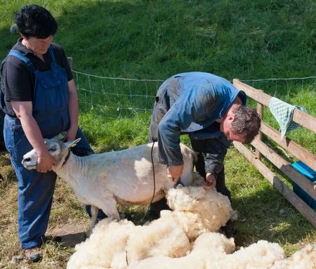 Lage Zwaluwe, Nord-Brabant, Niederlande, 22 Mai 2011, A Landwirt ist einer der seine Schafe Scheren und seiner Frau hilft ihm Editorial