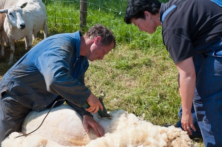 shearer: Lage Zwaluwe, North-Brabant, Netherlands, May 22, 2011,  A farmer is shearing one of his sheep and his wife assists him