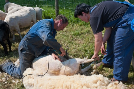Lage Zwaluwe, North-Brabant, Netherlands, May 22, 2011,  A farmer is shearing one of his sheep and his wife assists him Stock Photo - 9564454