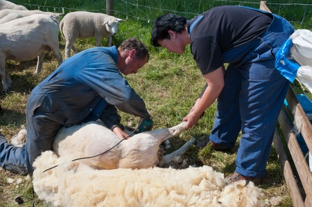 Lage Zwaluwe, Noord-Brabant, Nederland, 22 mei 2011, Een boer scheert een van zijn schapen en zijn vrouw helpt hem
